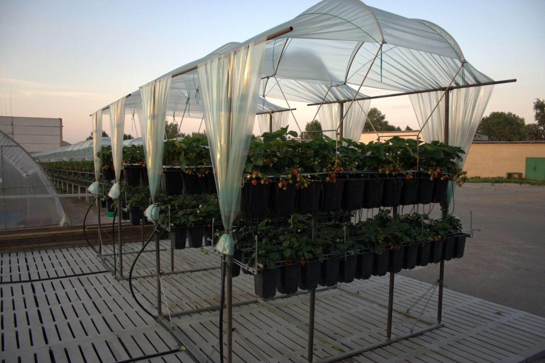 Выращивание черники в теплице круглый год 12